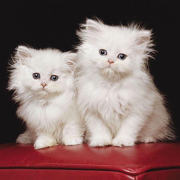 Witte perzische katjes