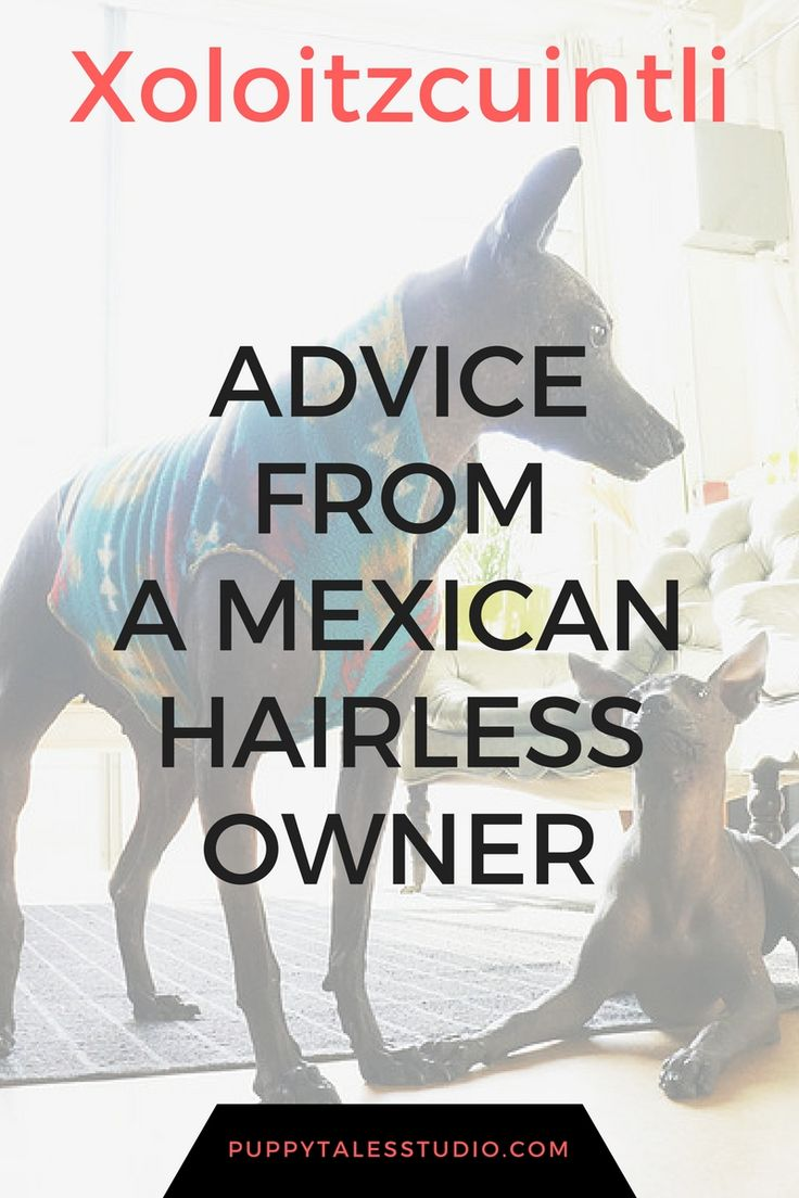 Rare dog breeds: Mexican Hairless Dogs - Tips and advice from a Xoloitzcuintli (or Mexican Hairless) owner. If you are thinking about getting a Mexican Hairless dog (or you're just curious), you should read this interview first! A Mexican Hairless dog own