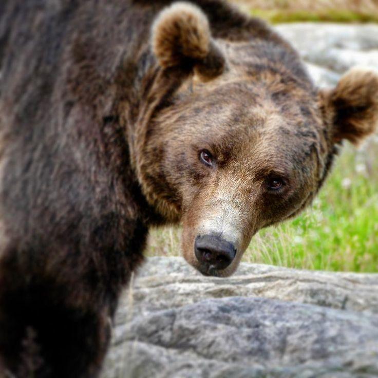 Björn heißt auf norwegisch Bär. Was man nicht alles lernt im Bjørneparken (Bärenpark) . #norway #instaplace  #animals #animal  #wildlife #nature  #tagsta_nature #instalife #dayshots #wild #tagstagramers #natgeohub #igs #instanature #awesome_shots #nature_shooters #vida #fauna #animalsofinstagram #animali #naturaleza #natura #tagstagramers #instanaturelover #ilove #instagood