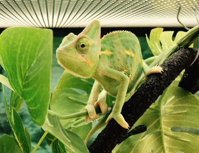 How to Take Care of a Chameleon: 11 Steps (with Pictures)