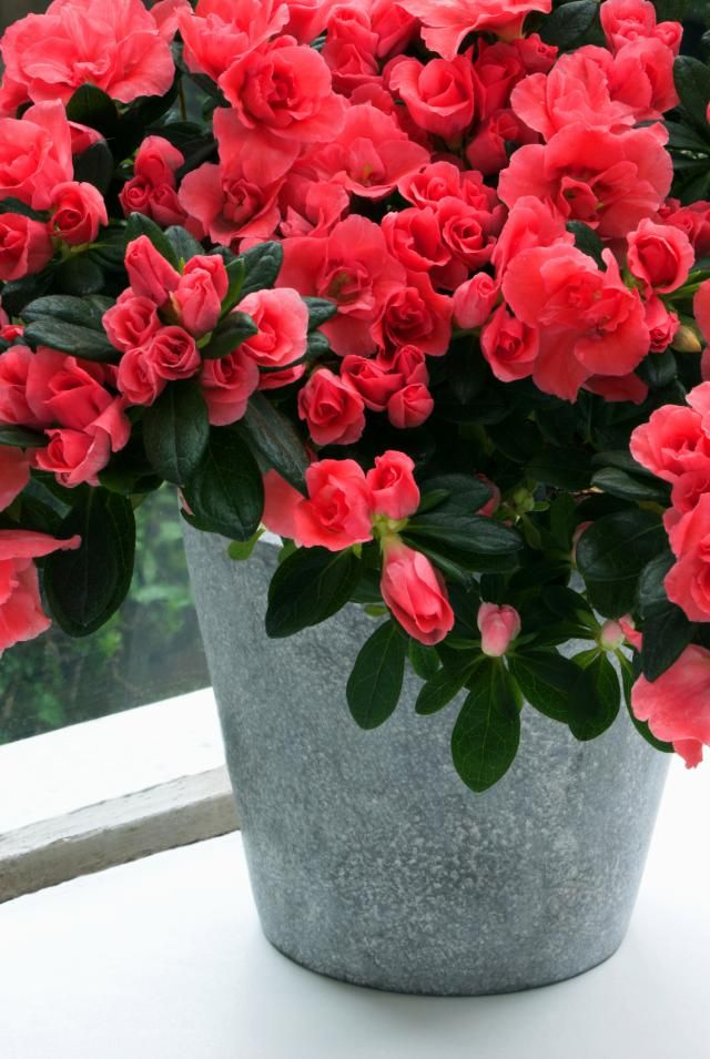 Potted Azalea, these have lasted long even in my care, they need moisty soil, but be careful not to let it get too wet. Love the flower and the blossom <3 ! Good idea as a gift.