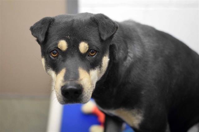 Adopt Rugby On Pet Adoption Adoption Rottweiler Mix