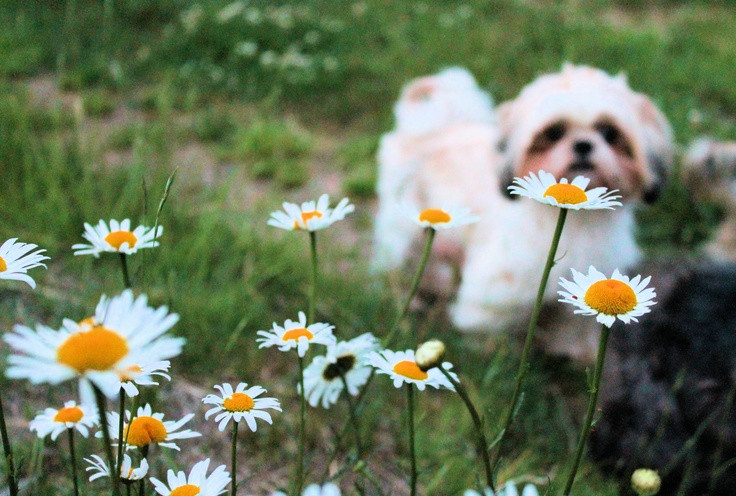 A teacup or Imperial Shih tzu in the daisies.
