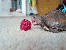 Was Schildkröten noch lieben: Essen.   24 Bilder, nach denen Du sofort eine Schildkröte adoptieren willst