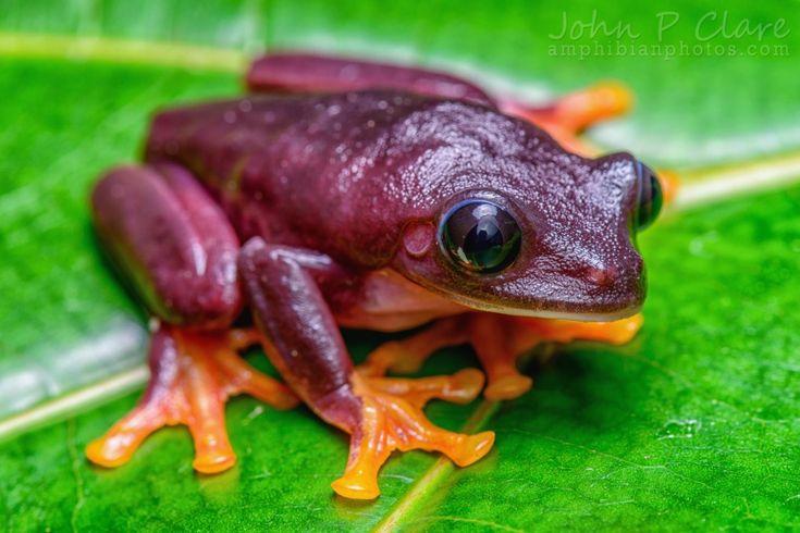 Agalychnis callidryas 'Black' (Black Red-Eyed Tree Frog)