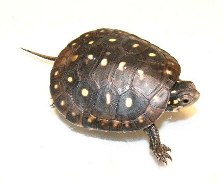 Baby Spotted Turtle