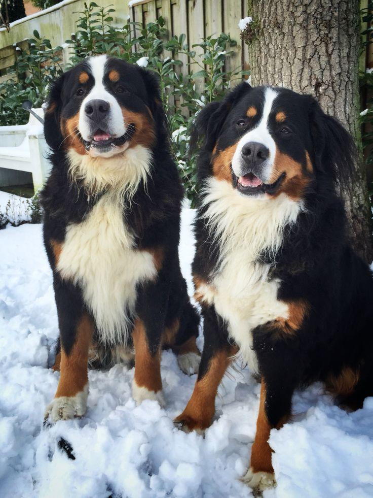 1000+ images about Berner Sennen - Bernese Mountain Dog on ... Berner Sennen Pups