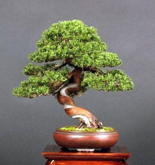 Sinuous shimpaku by Boon Manakitivipart (Bonsai Boon)