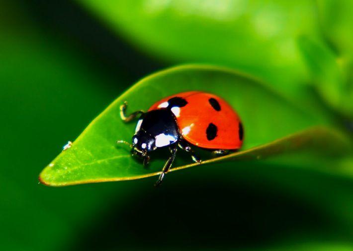 images of ladybugs | Tips | Lafayette Community Garden