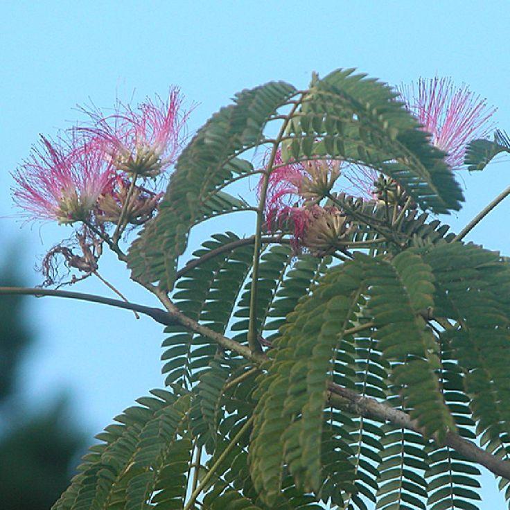 Plantes ALBIZIA julibrissin 'Ombrella' - ALBIZIA julibrissin 'Ombrella' - - - Pépinière Lepage
