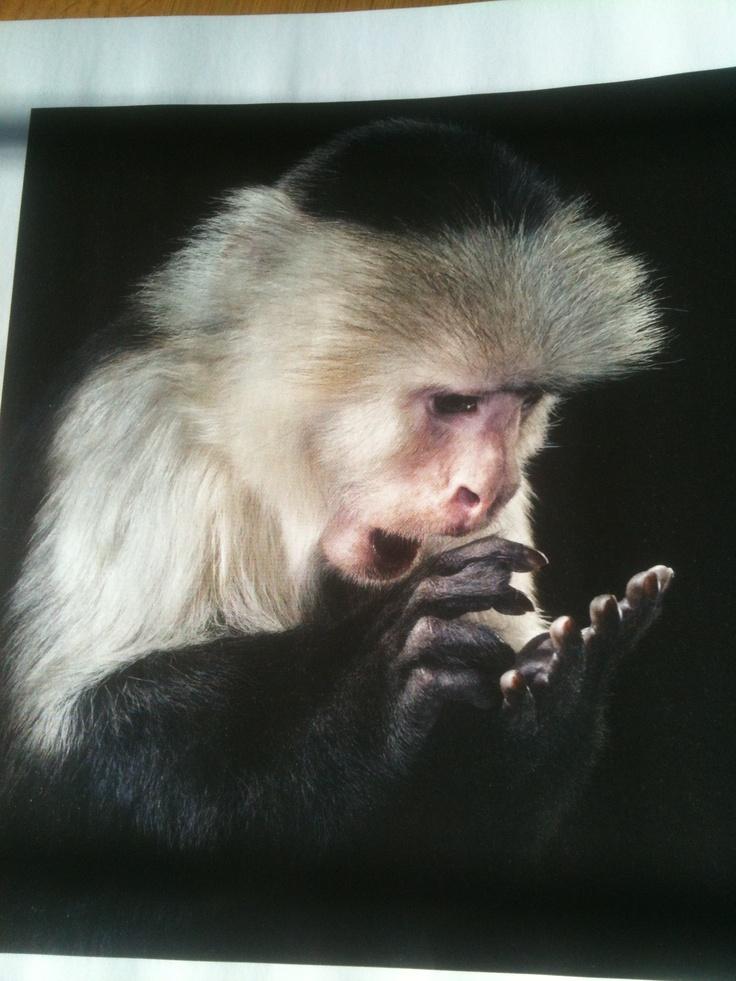 white-faced capuchin (Intelligent Life)