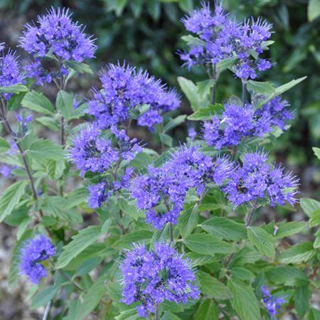 Caryopteris 39 grand bleu 39 plantes et jardins outdoor for Plantes et jardins com catalogue