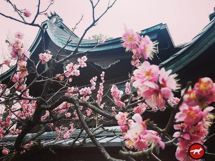 Plum blossom Kyoto Pruniers en fleur Kyoto
