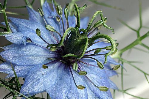 nigella flower - blue