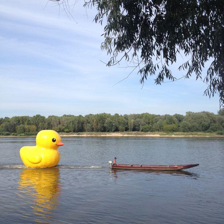 Bajka o Złotej Kaczce. Złotą Kaczkę coraz częściej mozna spotkać na wodach Wisły!