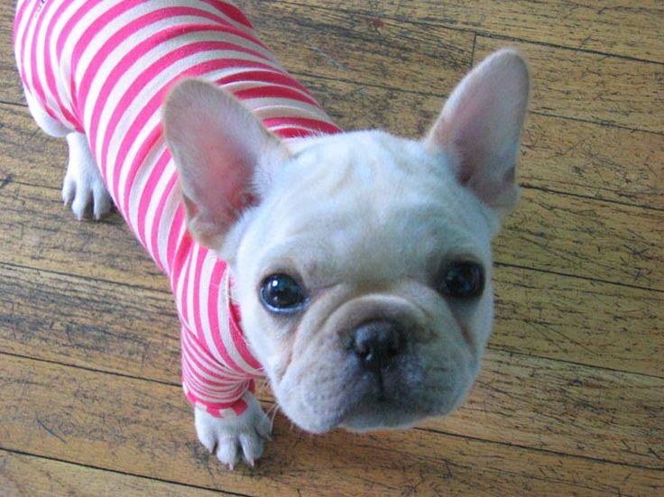 How cuteDogs Recipe, Stripes Sweaters, Future Baby, Bulldogs Sooooo, White French Bulldogs Puppies, Frenchie Pup, French Bull Dogs, Dogs Cake, Animal