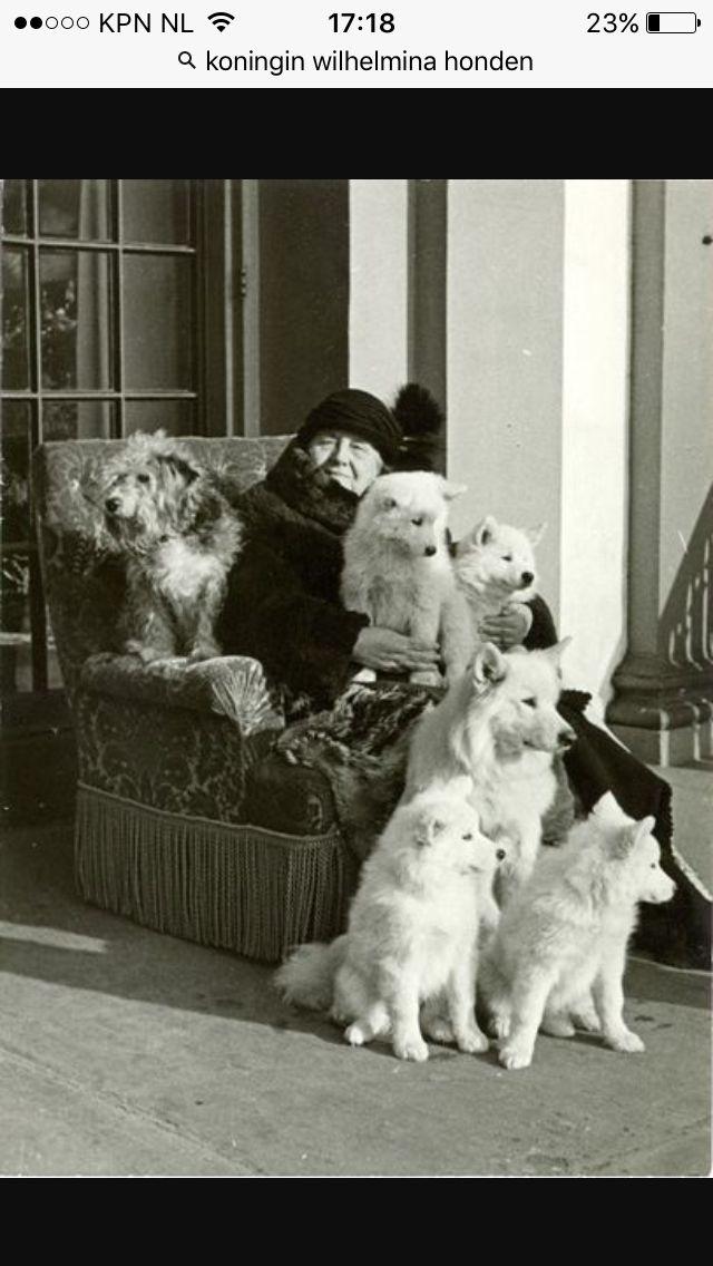Prachtig trotse koninklijke honden de samojeed
