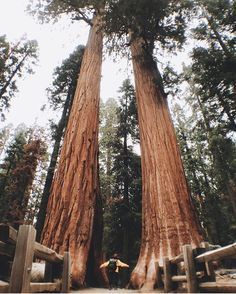 is sequoia or redwood? loved visiting both. such magical places//