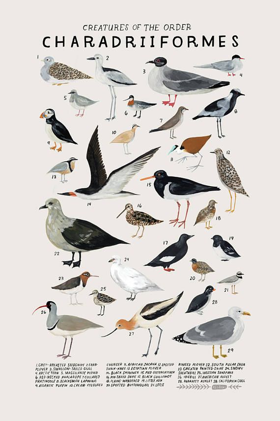 Creatures of the order Charadriiformes vintage inspired