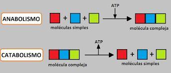 Resultado de imagen de catabolismo y anabolismo