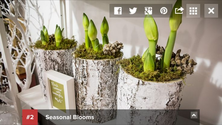 BlogTO's fave things at Union Station Holiday Market. We made #2 with our birch bark cylinders planted with 3 gorgeous amaryllis bulbs (available in white, red & candy cane pink). Nov 30-Dec 20, 2015. #USHM #unionstationholidaymarket #local #buylocal #ontario #canada #ontariogrowers #torontomarketco #christmas
