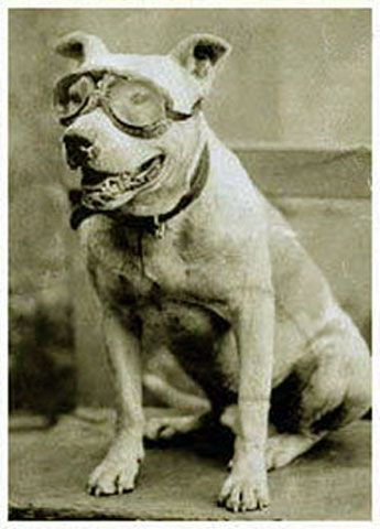 In 1903, the first people to cross the United States in a car were Horatio Jackson and his assistant Sewall Crocker. Accompanying them was Jackson's pit bull Bud who became the first dog to cross America in the Winton Vermont automobile. Bud's specially made driving goggles reside in the Smithsonian today.: Car, Horatio Nelson, Dogs, Offer, Cross, Animal