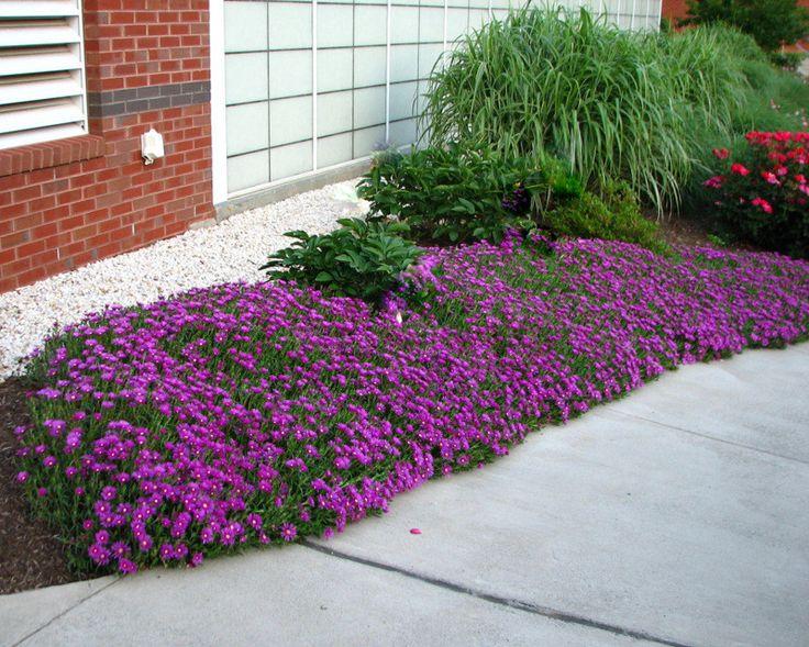 low maintenance Perennial plants, Perennial Biennial Seeds Aubrieta 'Purple Cascade hybrid
