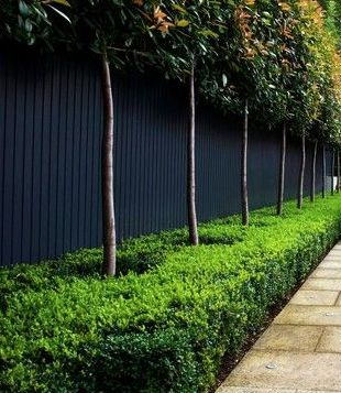 Creating two levels of hedging by underplanting the raised hedge: a formal low-clipped boxwood hedge under the raised hedge of Photinia x fraseri Red Robin. Both are evergreen, creating great year-round interest.
