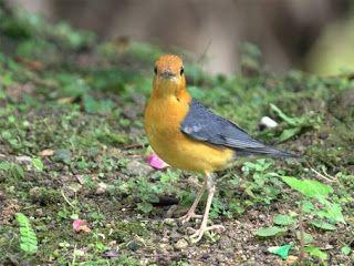 Burung Anis Merah di Atas Tanah #burung #bird #anismerah #pets #livestock #animals #hewan #photography