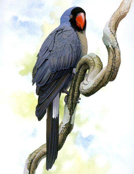 Маскаренский попугай (Mascarinus mascarinus), о. Реюньон и, вероятно, Маврикий (Маскаренские о-ва). Вымер к началу XIX в.; скорее всего, вид истреблен белыми поселенцами острова и крысами, разорявшими птичьи гнезда.