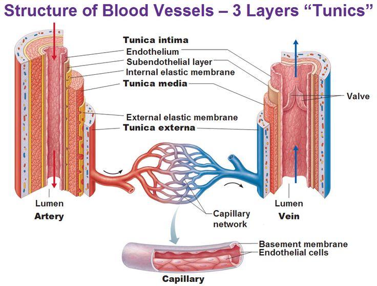 ** blood vessels