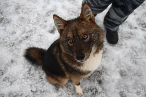 Sulimov Dog A Dog Jackal Hybrid Developed In Russia As