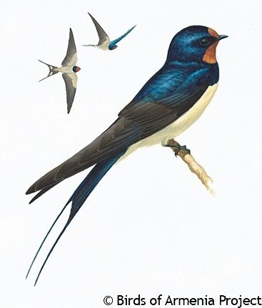 Barn Swallow | biological illustrations | Pinterest