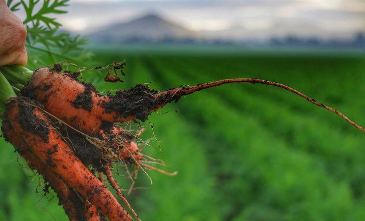 Could carrot #vodka be your new favourite cocktail? Find out more behind the process of repurposing unwanted #Aussie vegetables and reducing #veggie waste.
