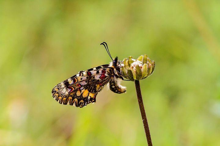 ZERYNTHIA RUMINA - Papilionidae Family