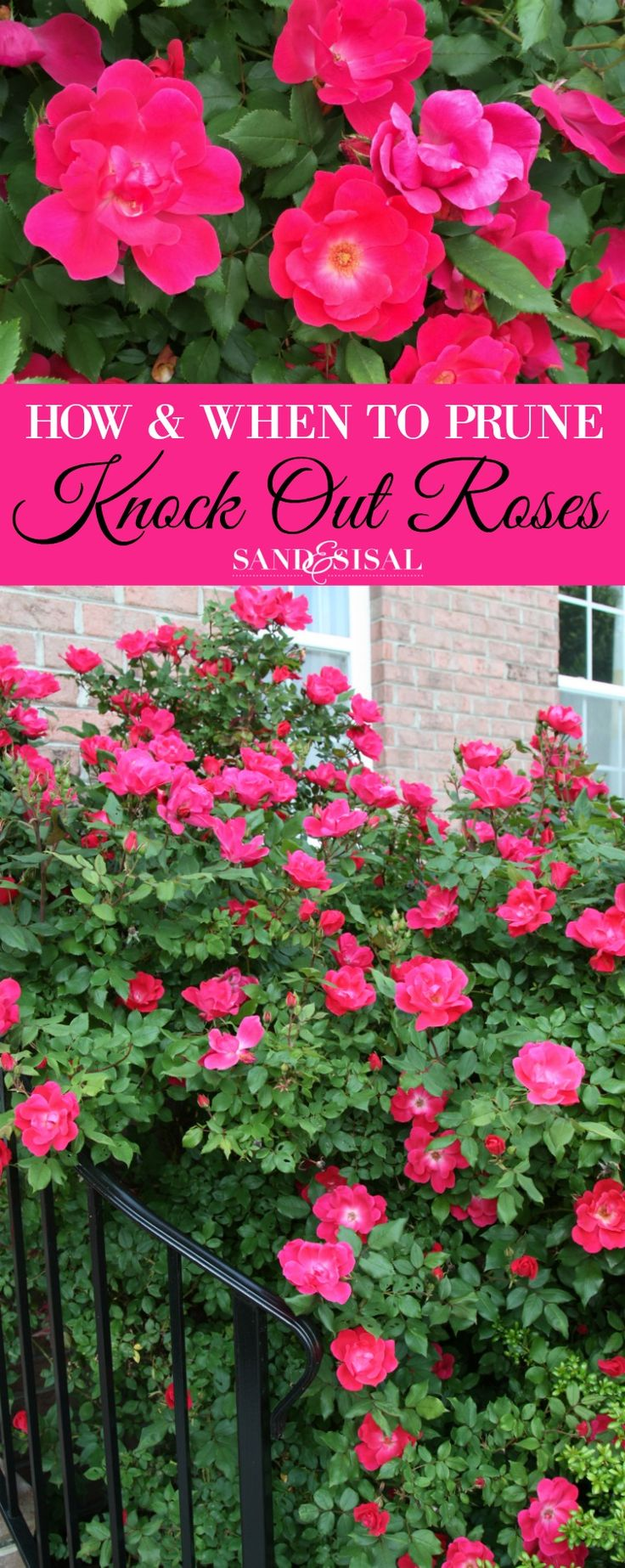 Roses In Garden: 25+ Best Ideas About Rose Diseases On Pinterest