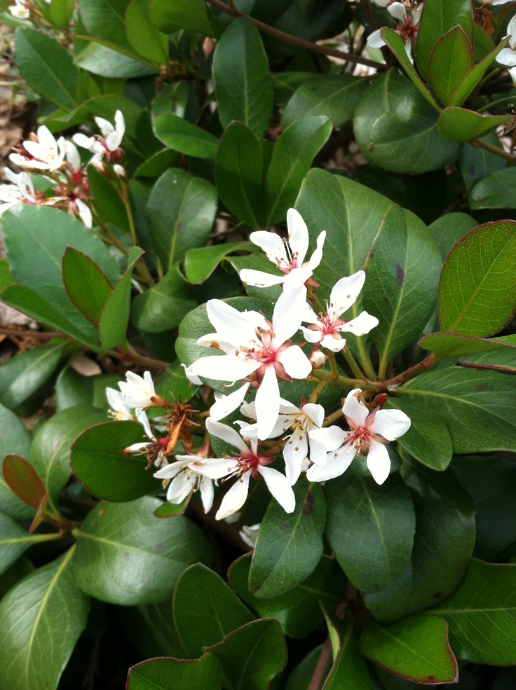 India hawthorne small evergreen shrub with white flowers for White flowering bush