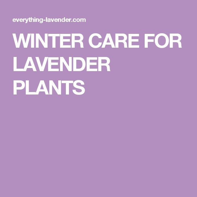 WINTER CARE FOR LAVENDER PLANTS