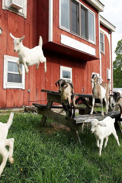 Happy, Happy Goats