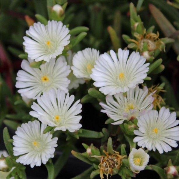 Delosperma Wheels of Wonder White - Pourpier à grandes fleurs blanches