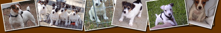 Jack Russell Terriers for Sale - Jack Russell Terrier Puppies for Sale