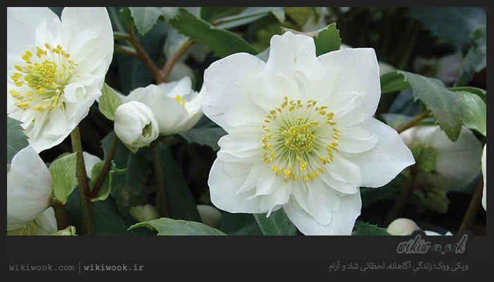 خربق سفید یکی از داروهای گیاهی سمی است که هرجند در درمان سنگ مثانه و صرع نافع است اما باعث سقط جنین می شود و بسیار خطرناک است و Herbalism Plants