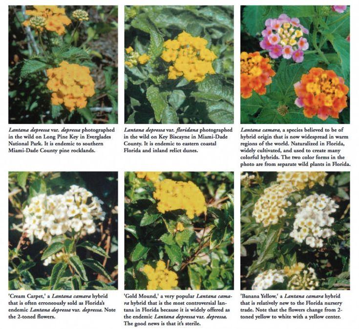 Ten Ideas To Organize Your Own Lantana Plant Berries Lantana Plant Berries Https Www Flowernifty Com Ten Ideas To Or In 2020 Lantana Plant Lantana Flower Wallpaper