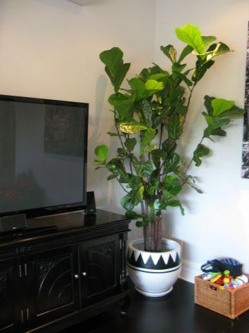 Fiddle leaf fig tree indoor pot plant