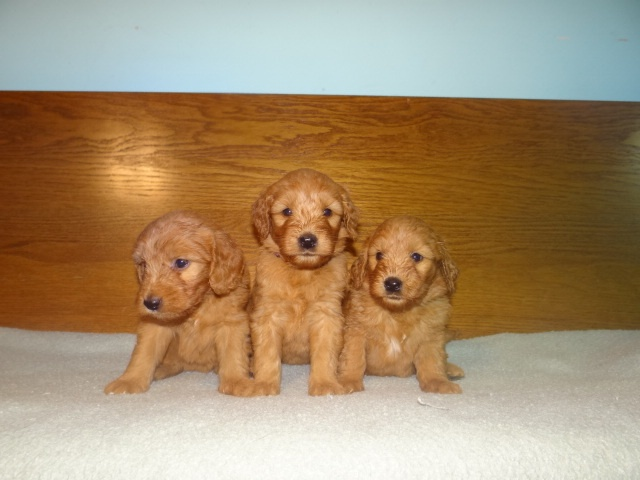 Countryside Doodles, Labradoodle & Goldendoodle Breeders, Puppies for Sale