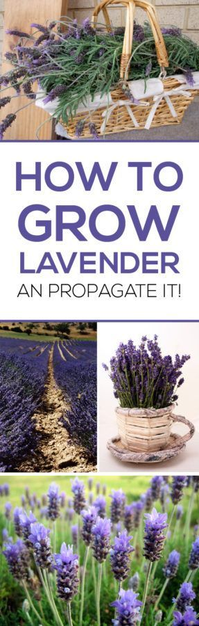 How to Grow Lavender and Propagate it! Lavender is really easy to grow when you follow these tips!