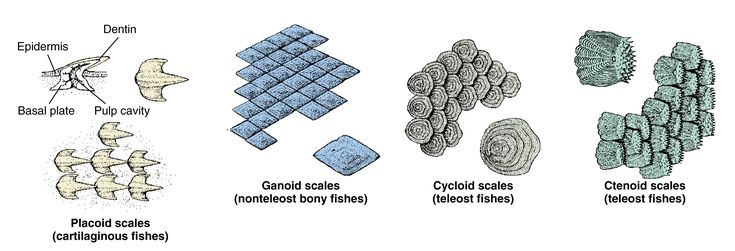 fish scales types  Google Search | fish | Pinterest