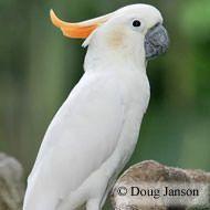12 Best Pionus Parrots Images On Pinterest Parakeets