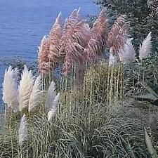 Ornamental Grass Seed - Cortaderia Pampas Grass Selloana Mix  Seeds