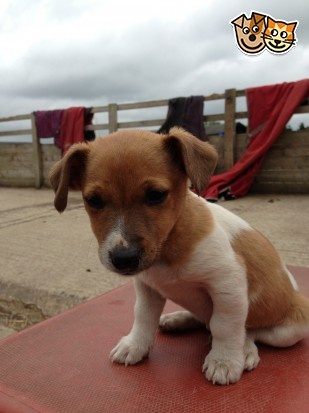 Jack Russell Puppies For Sale |